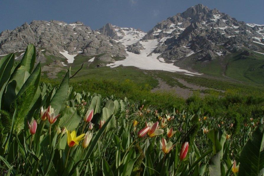 горные тюльпаны фото киргизия начинают гонять